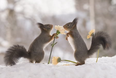 red squirrels are touching yellow flowers in snow Stock Photo