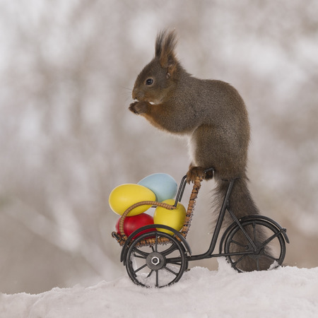red squirrels in snow on a bike with eggs