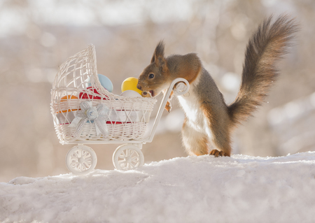 red squirrel  with an stroller and eggs