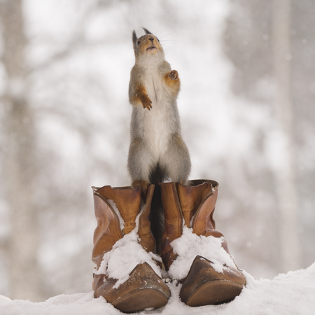 red squirrel is standing  on shoes