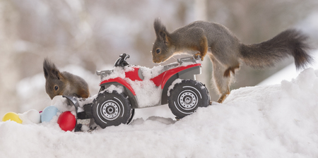 red squirrels with an snow shovel  with eggs