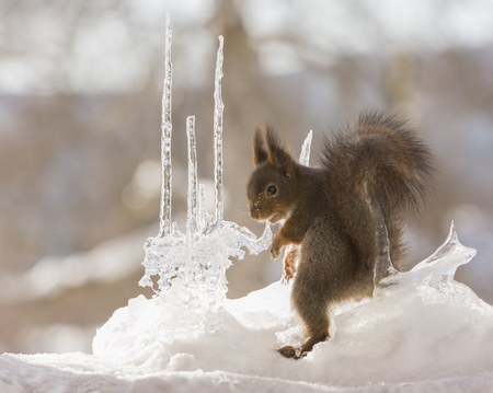 red squirrels is looking back between icicles