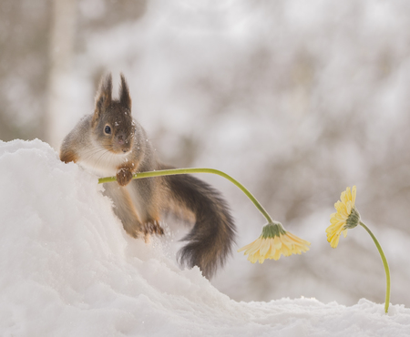 red squirrel is holding a yellow flower in snow Stock Photo