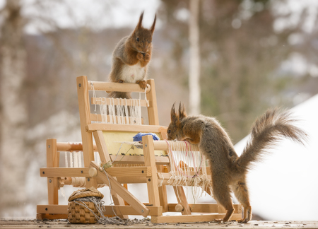 red squirrels with an weaving loom Stock Photo