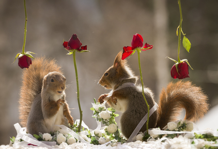 red squirrels are standing between roses  Stock Photo