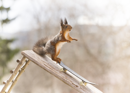 red squirrel standing on an Skateboard