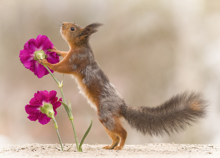 red squirrel leaning to a flower
