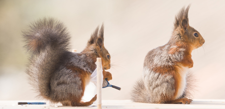 red squirrels are holding a Tennis Racket