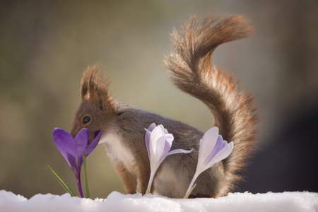 red squirrel with nose in a crocus  Reklamní fotografie