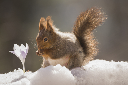 red squirrel in snow with a crocus