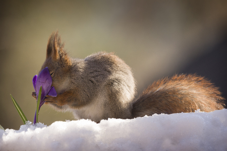 red squirrel on the snow holding an crocus Reklamní fotografie