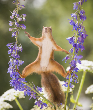 Red squirrel between a Delphinium flower reaching Reklamní fotografie