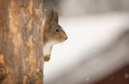 Red squirrel hiding behind tree in snow  Reklamní fotografie