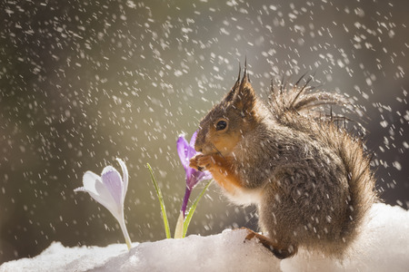 red squirrel on the snow with crocus in rain Reklamní fotografie