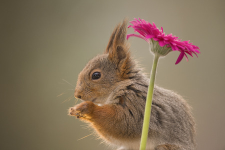 red squirrel standing beneath a flower