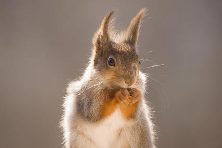 Closeup of a red squirrel in sun