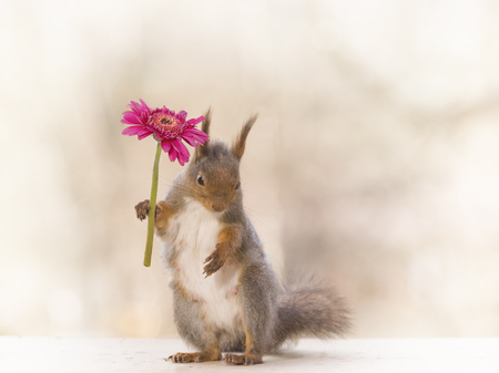red squirrel holding a red flower in hand