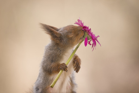 red squirrel holding and smelling a red flower