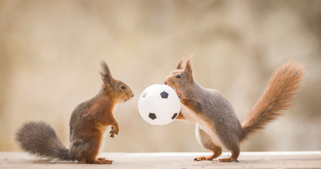 red squirrels hold an football  in between