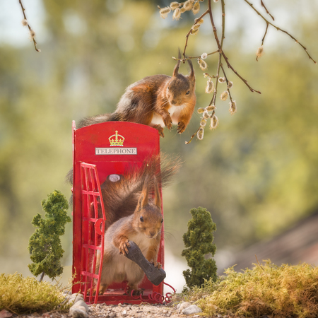 red squirrels on and in an telephone booth