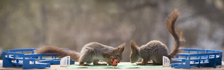 red squirrels in a football stadium Reklamní fotografie