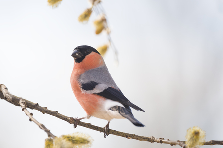 male bullfinch on willow branch Reklamní fotografie