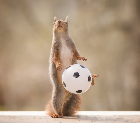 red squirrel feet up with an football