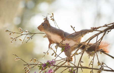 red squirrel in an split between willow flowers  Reklamní fotografie