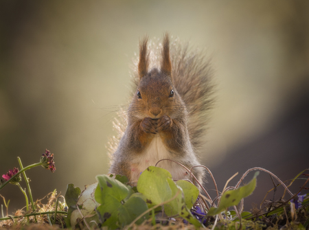 red squirrel is standing behind liverleaf
