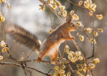 red squirrel hold an branch between willow flowers