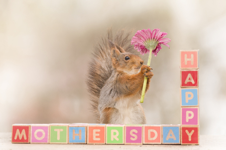 red squirrel is holding an flower