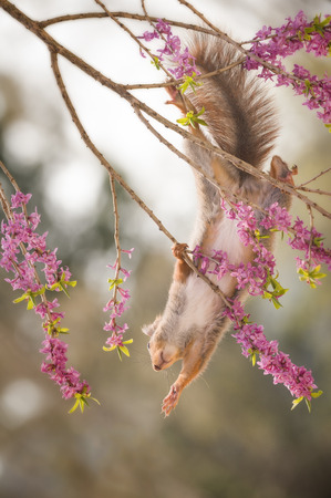 red squirrel is hanging between mezereon flowers