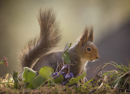 red squirrel standing on moss with liverleaf  Stock Photo