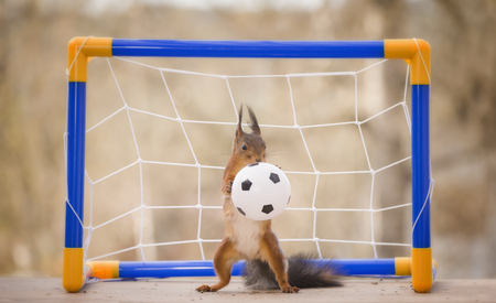 red squirrel with a football  Reklamní fotografie