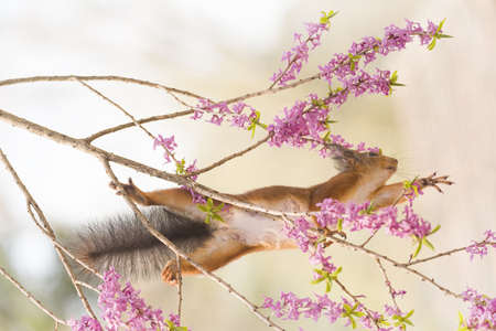 red squirrel is reaching out between mezereon flowers