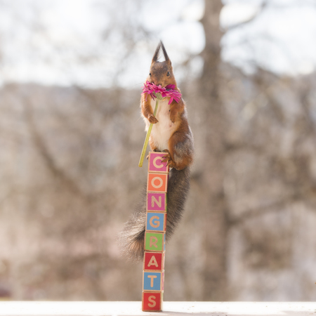 red squirrel standing on congrats blocks
