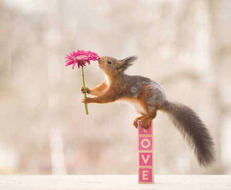 red squirrel on love holding an flower