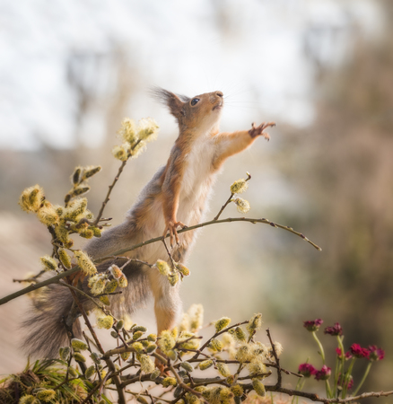 red squirrel reach up on a branch with willow flowers  Reklamní fotografie