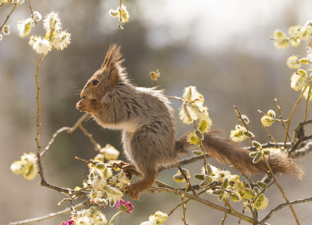 red squirrel in branches between willow flowers
