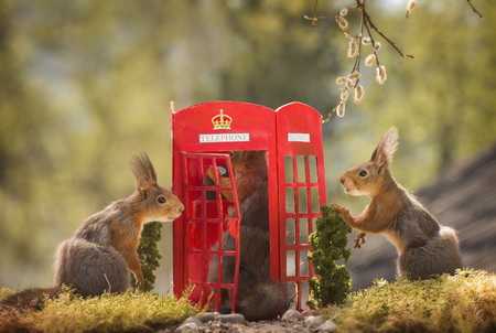three red squirrels with a telephone booth
