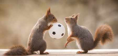 red squirrels with a football  in between