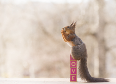 red squirrel holding a ring   Stock Photo