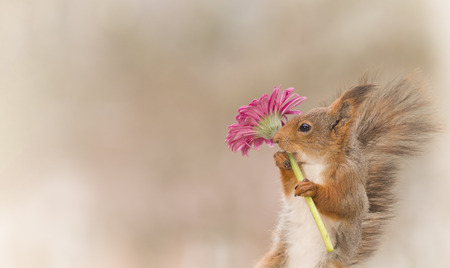 red squirrel is holding a flower