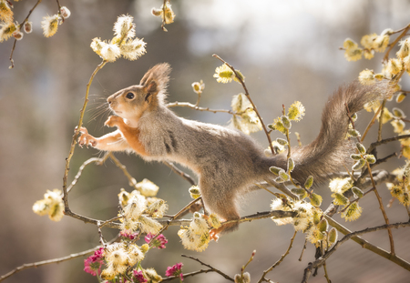 red squirrel reaching between willow flowers  Stock Photo