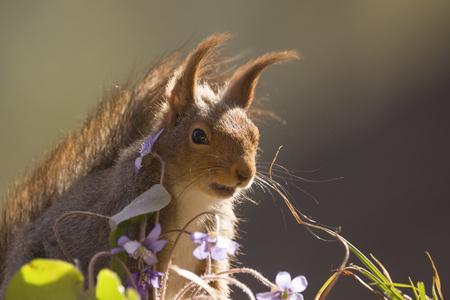 closeup of red squirrel stand behind liverleaf