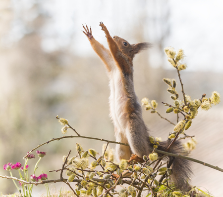 red squirrel reach on an branch between willow flowers  Reklamní fotografie
