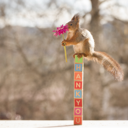 red squirrel on thank you is holding an flower