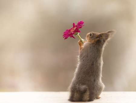red squirrel touching a red flower
