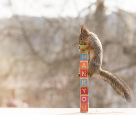 red squirrel standing on thank you blocks