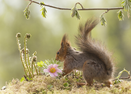 red squirrel is standing with ferns and flowers
